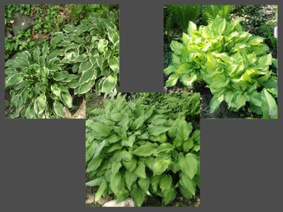 BOHYŠKA - Hosta MIX