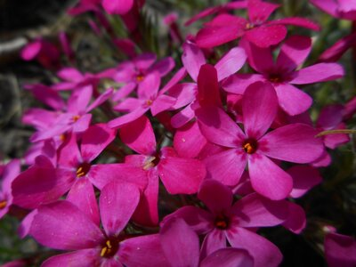 PLAMENKA - Phlox subulata ' Red Wing'