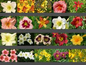 DENIVKA MIX - Hemerocallis
